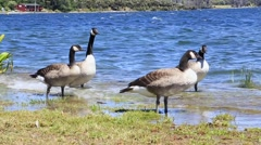 Ducks on Te Anau River, New Zealand Stock Footage