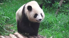 Panda Walking Thru The Grass Of The Forest 4K Stock Footage