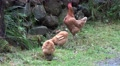 4k Free living Chicken Cock and Hen closeup picking food in grassy rocky area 4k or 4k+ Resolution