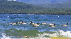 Ducks on Te Anau River, New Zealand Stock Footage