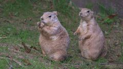 Cute prairie dog mimics other, or so it seems. Even at end of clip. Stock Footage