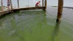 Robbies tourists feeding tarpon in islamorada in the florida keys Stock Footage