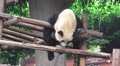 Panda Bear Hangs Out On Wood Shelter HD Footage