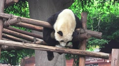 Panda Bear Hangs Out On Wood Shelter HD Stock Footage