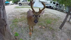 Male key deer with antlers at rv park on big pine key in the florida keys Stock Footage
