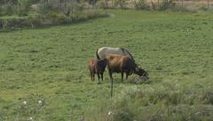 4K - 2 cows and 1 horse eating Stock Footage