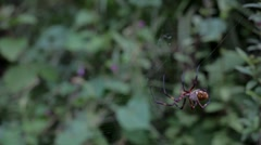 Tropical orb weaver spider spinning a web Stock Footage