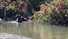 Bears Spar in Creek in Canadian Wilderness - stock footage