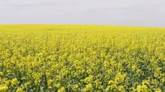 Field of oilseed rape Stock Footage
