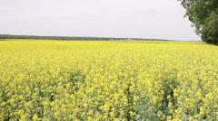 field of oilseed rape - stock footage