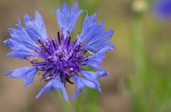 Stock Photo of cornflower flower in a summer garden close up