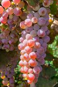 Bunch of pink grapes Stock Photos