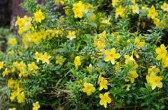 .golden trumpet blooming in garden. Stock Photos