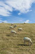 sheep on dike on Texel - stock photo