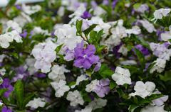 Brunfelsia australis (yesterday today and tomorrow flower) Stock Photos