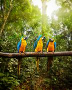 Blue-and-Yellow Macaw Ara ararauna in forest Stock Photos