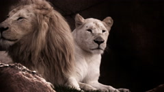 Lion and Lioness seated together with a look of fierce pride Stock Footage