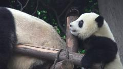 Little Panda Climbs Ontop Of Resting Giant Panda Bear 4K - stock footage