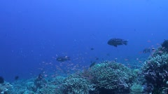 Coral reef with Anthias and Snapper Stock Footage