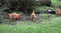 4k Free living Chicken group in grassy rocky landscape 4k or 4k+ Resolution