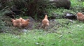 Free living Chicken group in grassy rocky landscape HD Footage