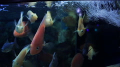 A group of cute gold fish at pet store swimming and interested Stock Footage