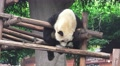 Panda Bear Hangs Out On Wood Shelter 4K Footage