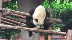 Panda Bear Hangs Out On Wood Shelter 4K Stock Footage