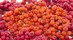 Time-lapse of drying rowan berries Stock Footage