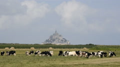 France Manche Mont Saint Michel bay listed as UNESCO World Heritage, cow in past Stock Footage