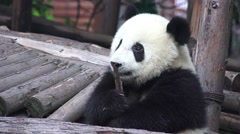 Little Panda Bear Plays With Piece Of Wood As Chew Toy 4K Stock Footage
