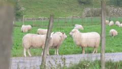 Sheep grassing at the side of the road. Tracking shot from left to right. 4K. Stock Footage