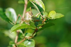 Grasshopper (Tettigonia cantans) Stock Photos