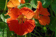 Garden nasturtium Stock Photos