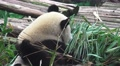 Panda Bears Eating Bamboo 02 4K Footage