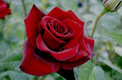 Stock Photo of Large dark red rose with black veins on the petals.