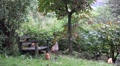Free living Chicken in wild garden with wooden bench HD Footage