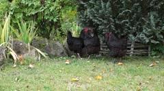 Hens meeting - stock footage