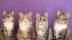 Four of the Siberian breed kittens on purple background. KEYWORD: uzhurskycats Stock Footage