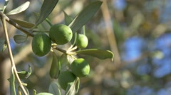 Green Olives CU on Tree Blowing in Wind 4K Stock Footage
