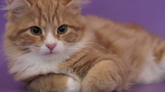 Siberian breed cat on a purple background. SESSION KEYWORD: uzhurskycats Stock Footage