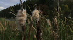 Stock Video Footage of Cattail moving in the wind