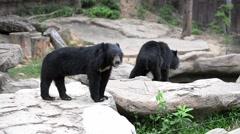 Asian black bear (Ursus thibetanus) smelling for food Stock Footage