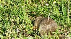 Souslik or European Ground Squirrel (Spermophilus citellus) Stock Footage