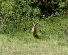Mule deer (Odocoileus hemionus) buck at forest edge - alert Stock Footage