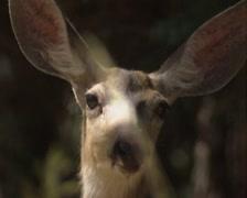Mule deer (Odocoileus hemionus) hind - on camera Stock Footage