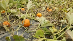 Pumpkin Patch Dolly Shot Stock Footage