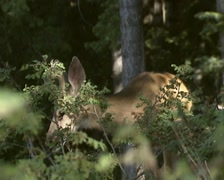 Mule deer (Odocoileus hemionus) buck eats buds from bush - on camera Stock Footage