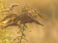 Ukrainian nature, goldenrod in September Stock Footage