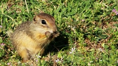 Souslik or European Ground Squirrel (Spermophilus citellus) - stock footage